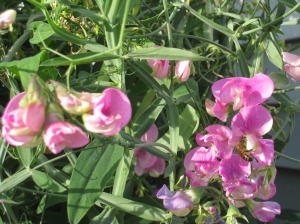 Sweet Peas in November